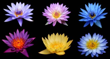 Pink water lily flower (lotus) over black background top view