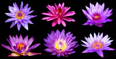 Purple water lily flower (lotus) over black background top view