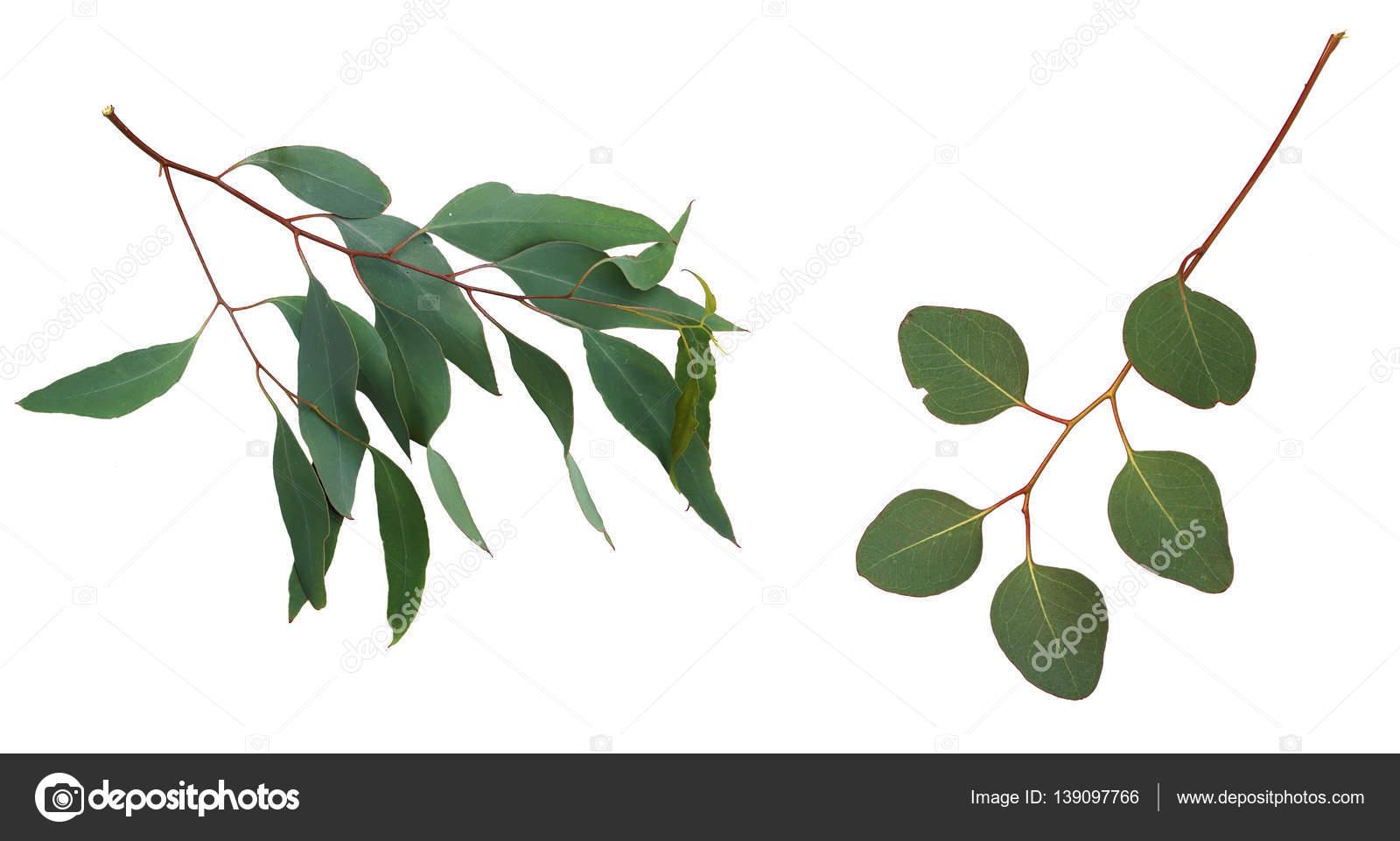 branches d'eucalyptus vert sur fond blanc — photographie bolina