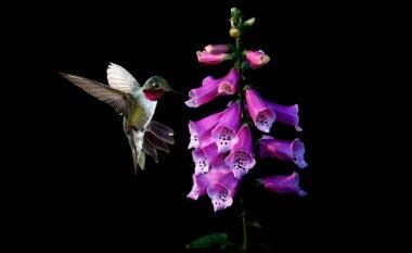 Anna's Hummingbird with flowers of purple foxglove