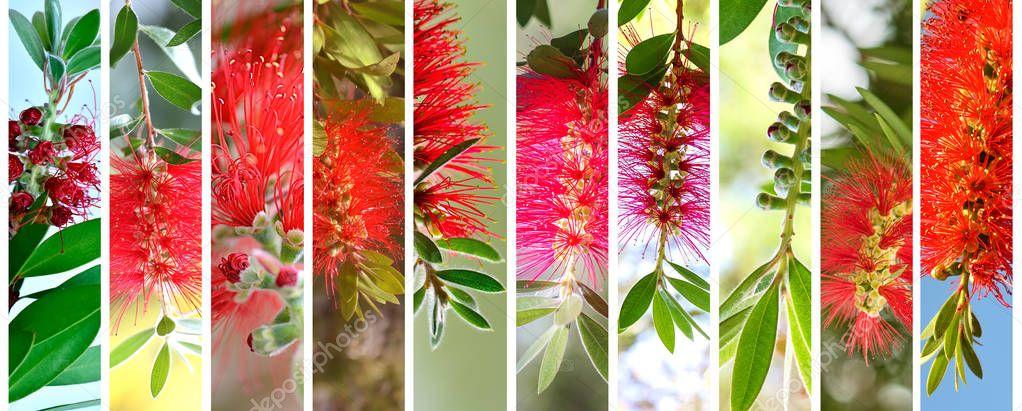 Bottlebrushes Australian plants set