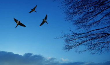 Barn Swallows flying in the sky