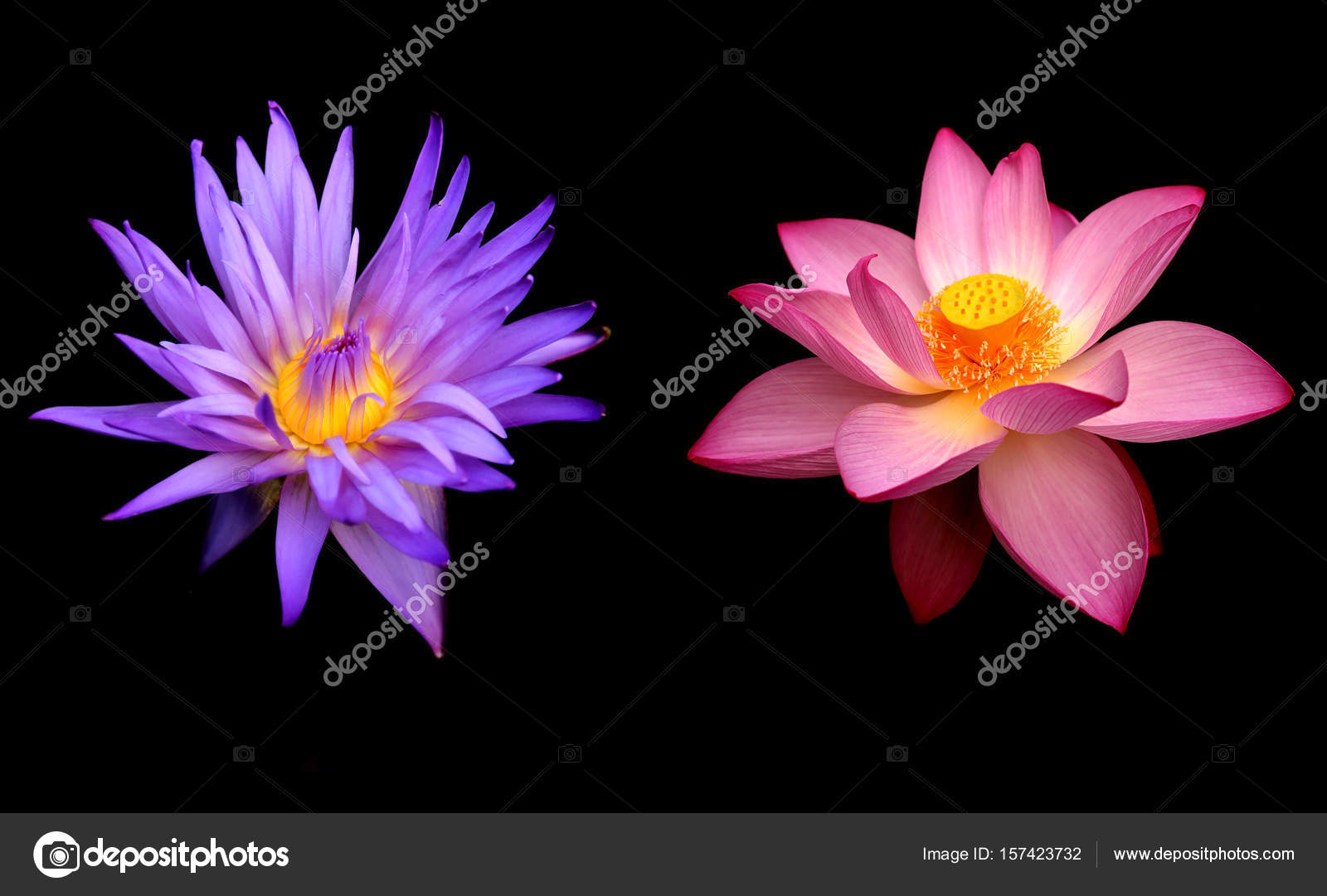 Two Water Lily Flowers Over Black Background Stock Photo Bolina