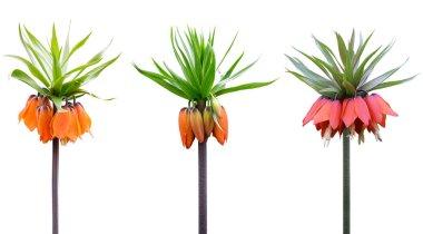 Fritillaria imperialis flowering plants