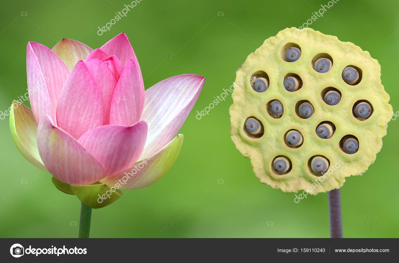 Pink Water Lily And Lotus Seeds Over Green Background Stock Photo