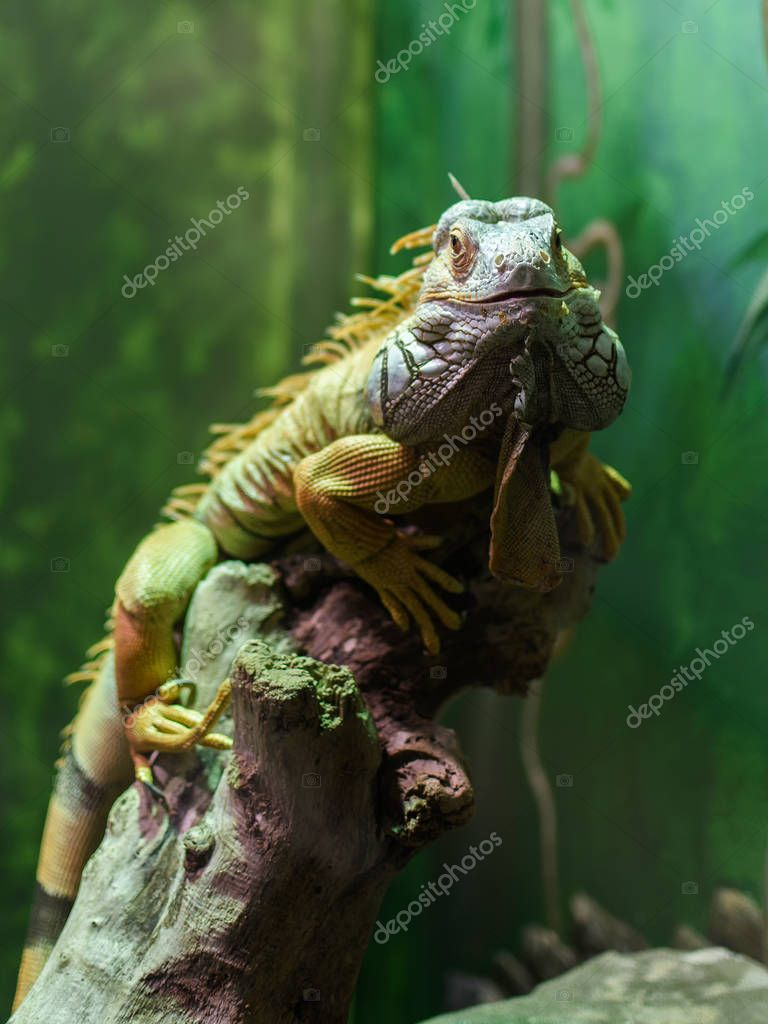 The green iguana (Iguana iguana) the iguana is watching you