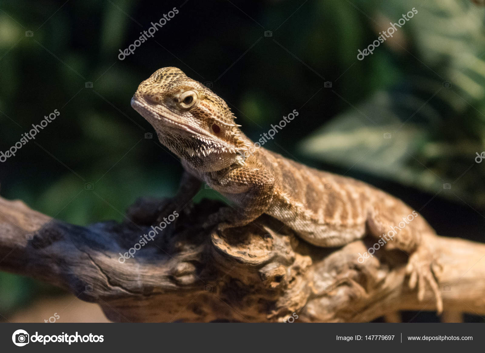 Pogona (Bearded Dragon) — Stock Photo © brambillasimone