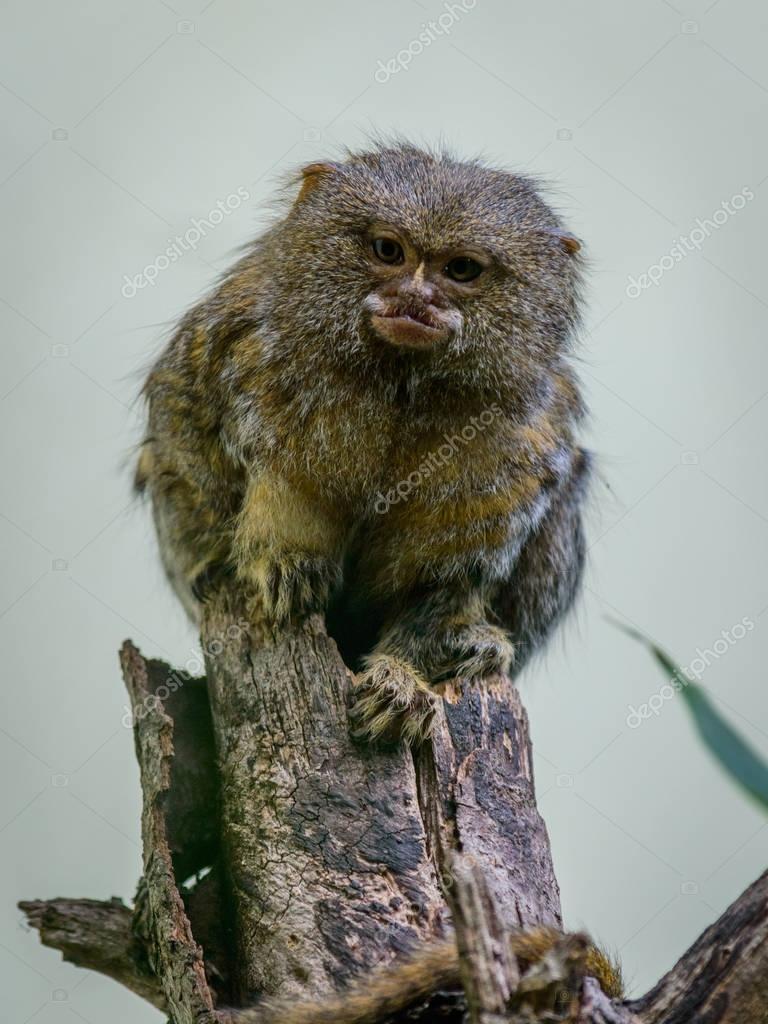 Pygmy marmoset (Callithrix pygmaea)