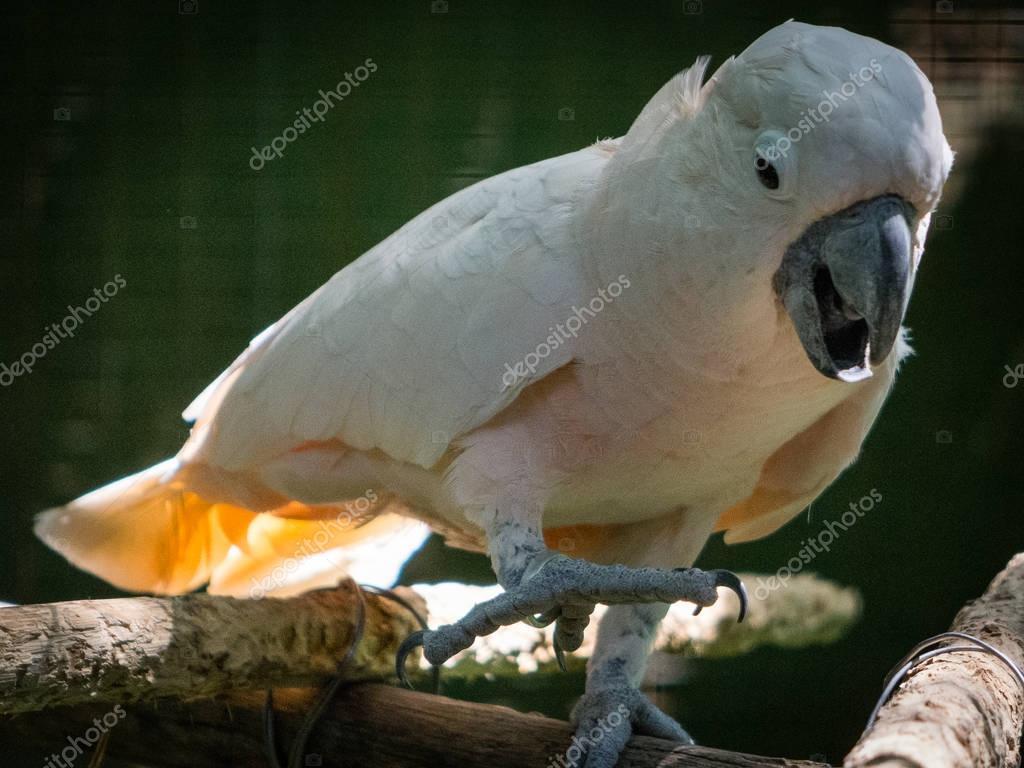 Cacatua bird (close up)