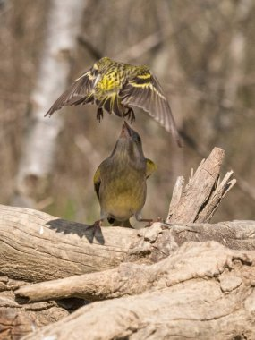 European greenfinch that compete for food