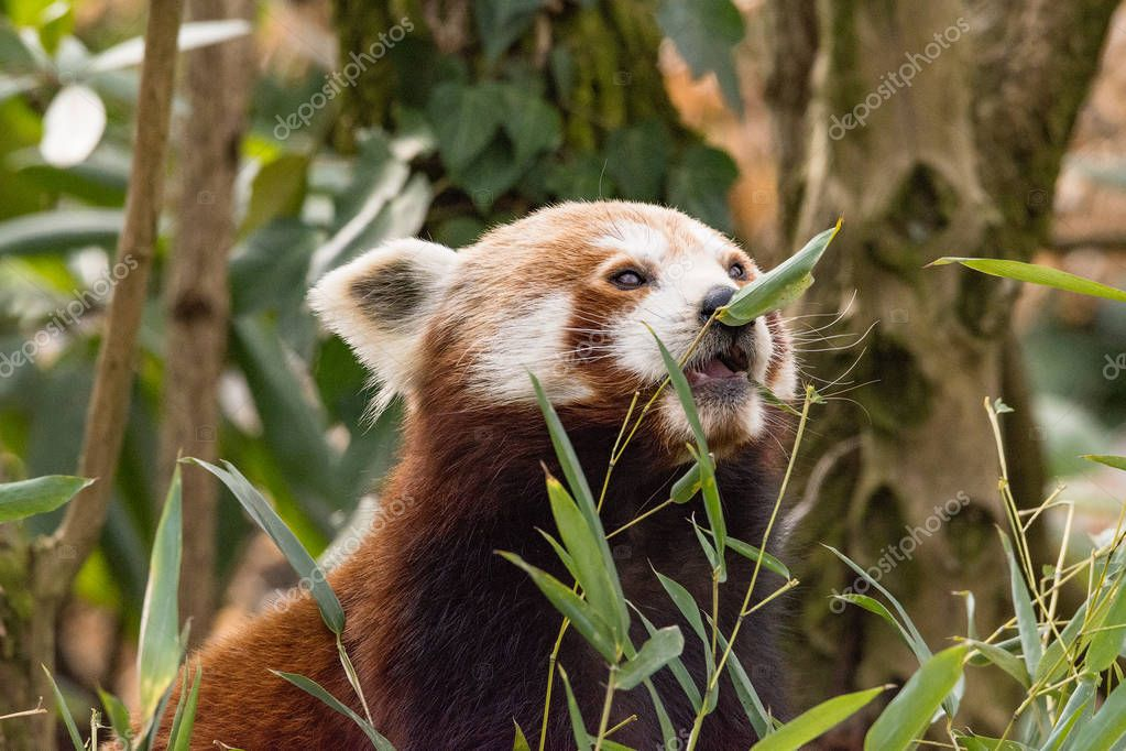 The red panda eats on a tree