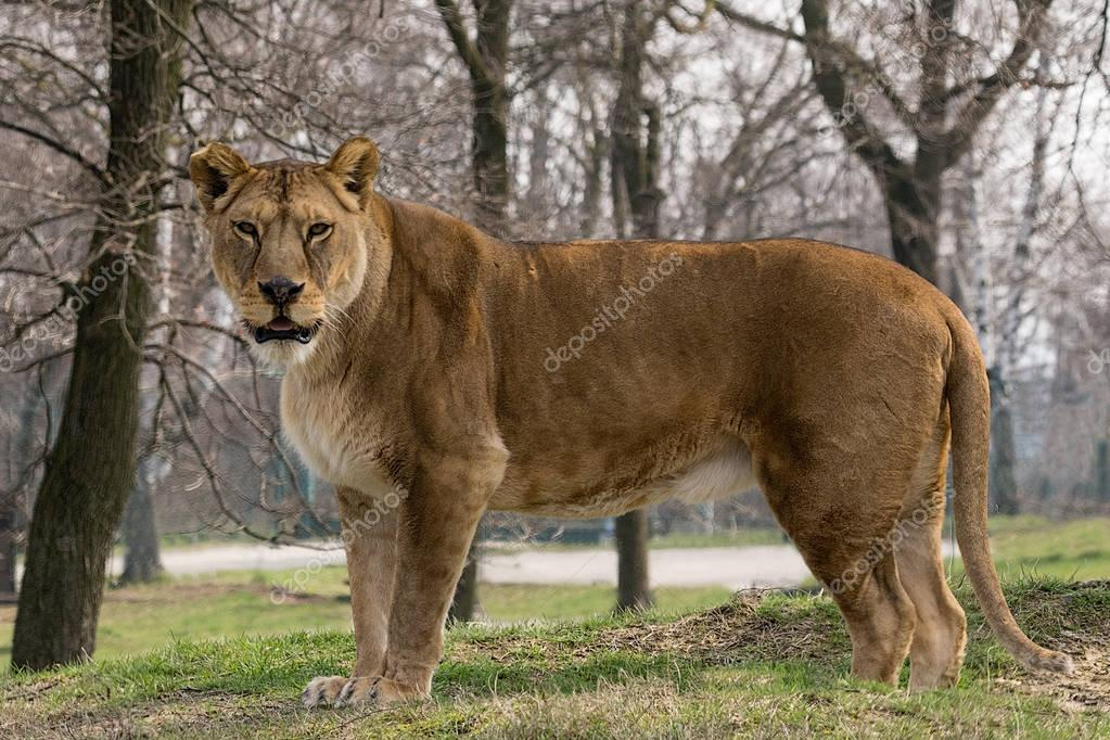 the lioness stands and looks at you