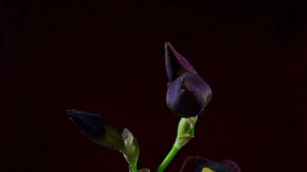 TimeLapse-egy virág a virágzás.