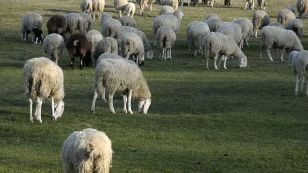 Schafherde weidet auf einem Acker in Europa.
