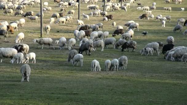 Stádo ovcí pasoucí se na poli zemědělské půdy v Evropě.