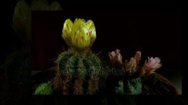 Idő telik el a nyitó és záró kaktusz virág