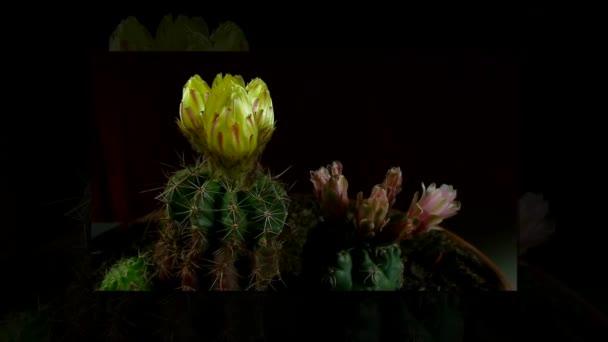 Zeitraffer des Öffnens und Schließens Kaktus Blumen