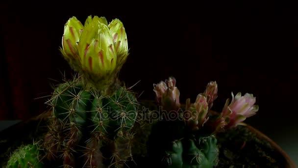 Idő telik el a nyitó és záró kaktusz virág.