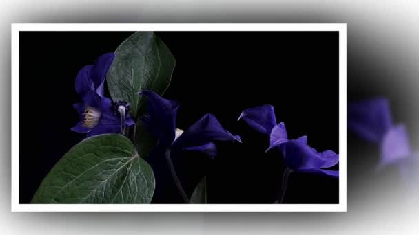 Time-lapse of opening dark blue flowers isolated on black background