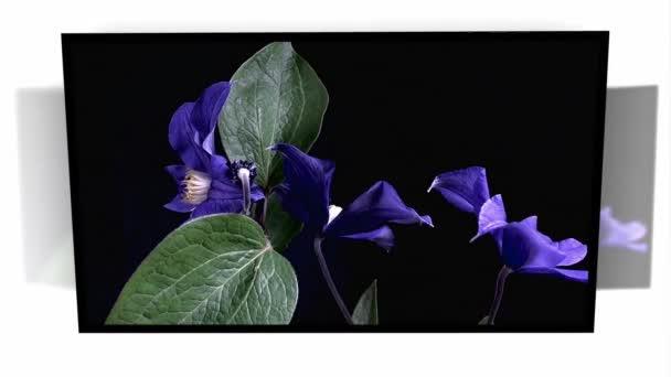 Time-Lapse otevření tmavě modré květy na černém pozadí, samostatný