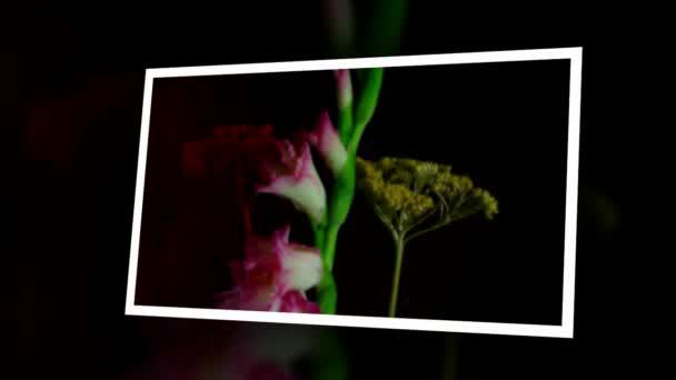 Virágzó rózsaszín gladiolus bimbó timelapse