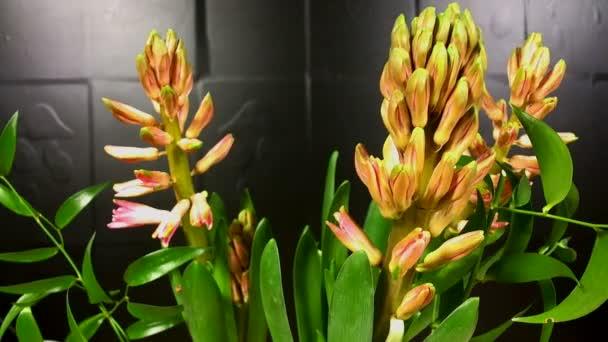 makro časosběrné video Růžové květiny hyacint (Hyacinthus orientalis) se zápis