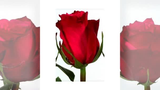 Strauß roter Rosen isoliert auf weißem Grund