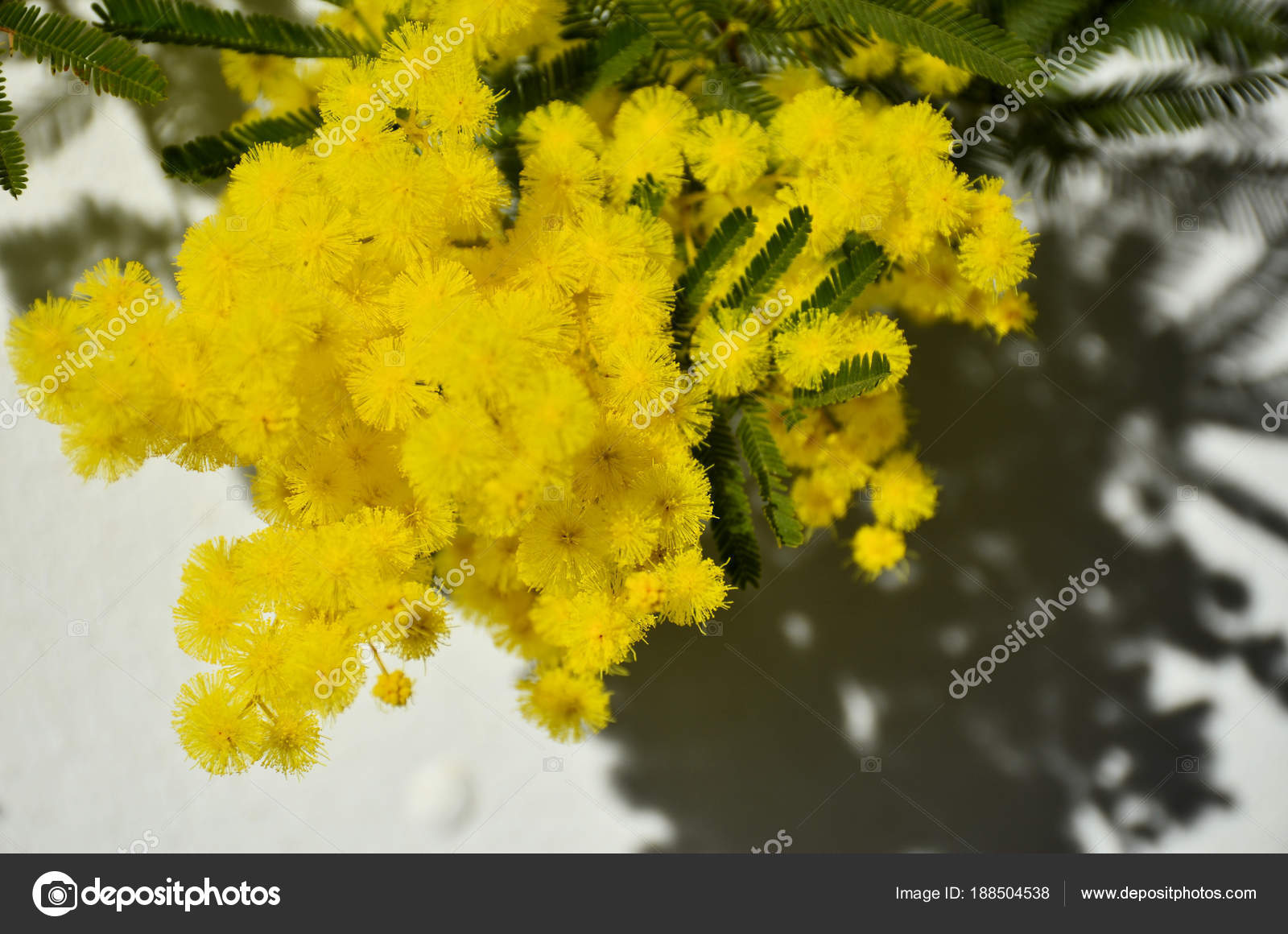 Branch Of Yellow Mimosa Flower Stock Photo Romeocharly 188504538