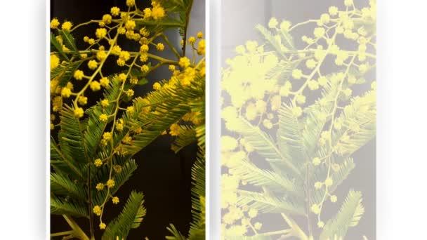 Žlutá, mimosa strom kvetoucí na jaře