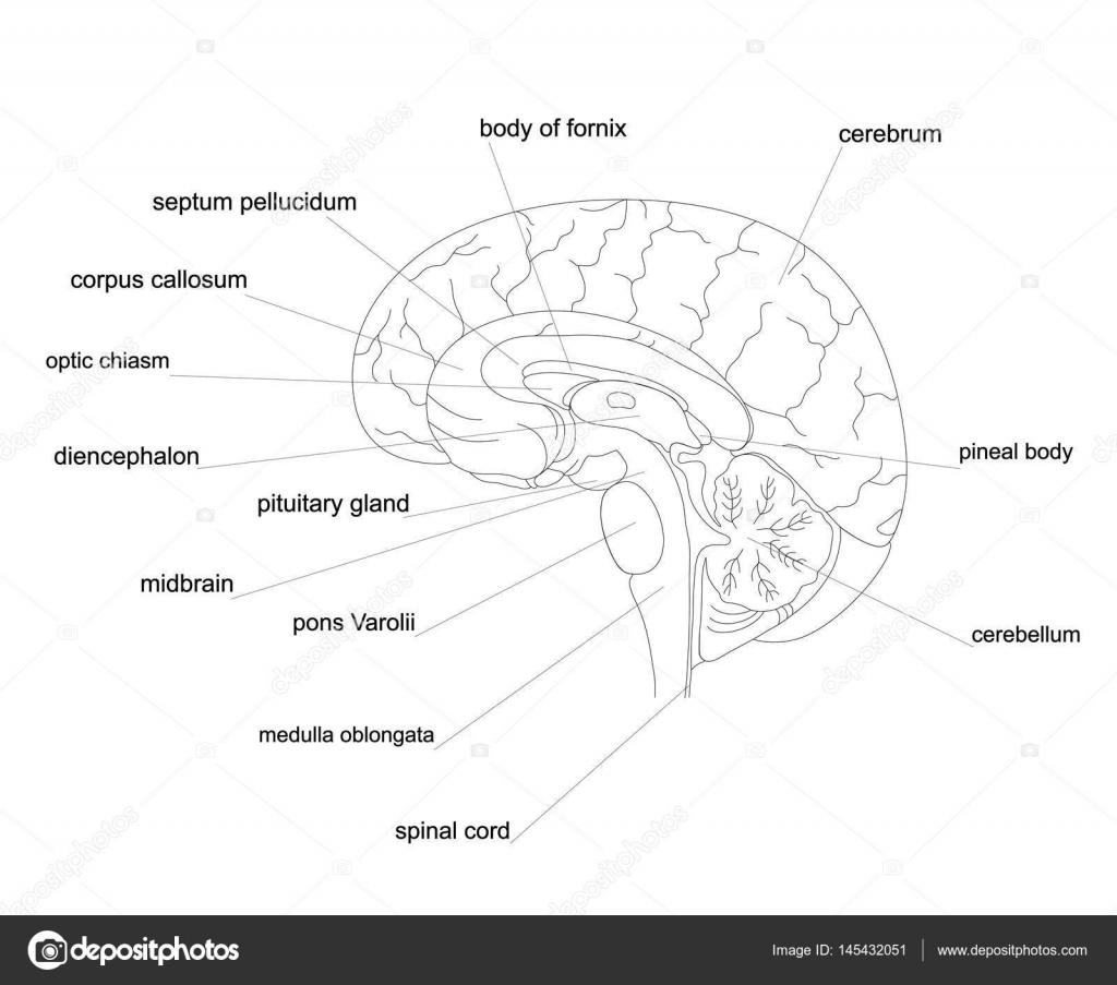 Esquema de anatomía del cerebro — Vector de stock © Kaimena1 #145432051