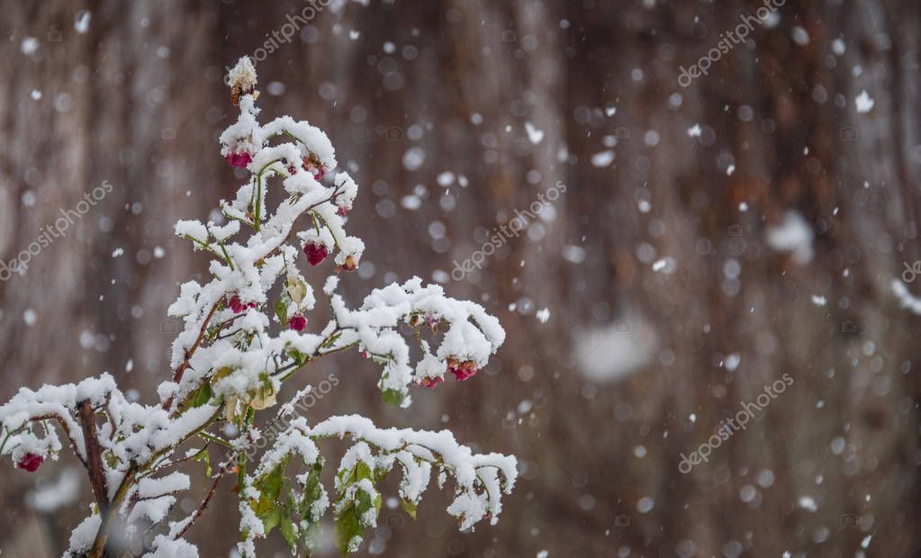 Snow falling over the rose flowers