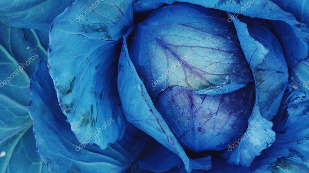 purple cabbage texture
