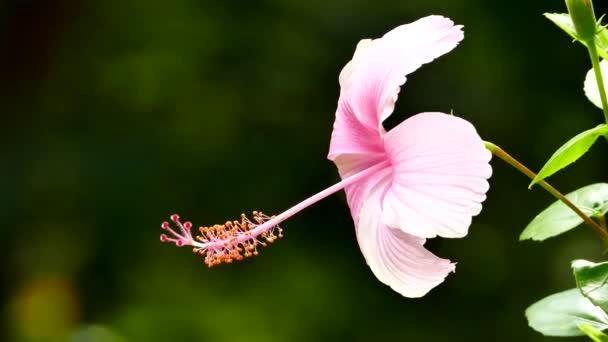 rózsaszín Hibiszkusz virág