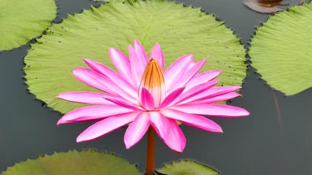 Růžový lotos v rybníku.