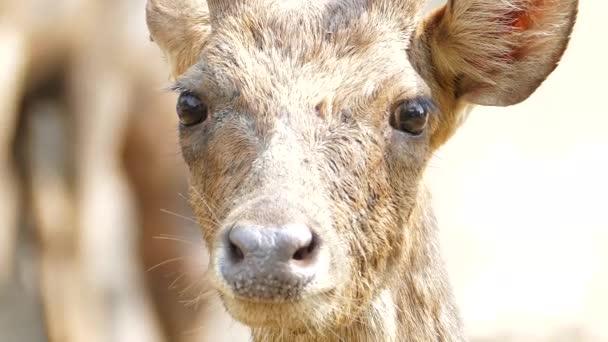 Sambar Deer or Rusa Unicolor