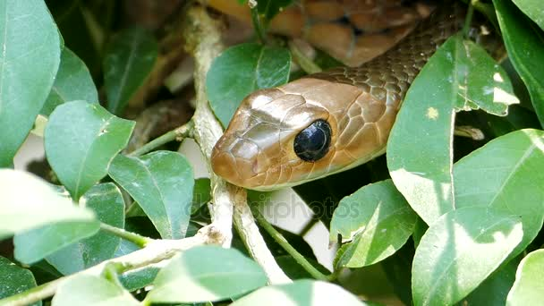 Indochinese rat snake (Ptyas korros) in tropical rain forest.