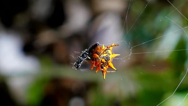 Pavouk je chytat mravenec