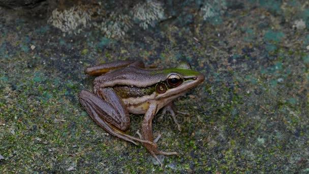 Žába zelená paddy v přírodě.