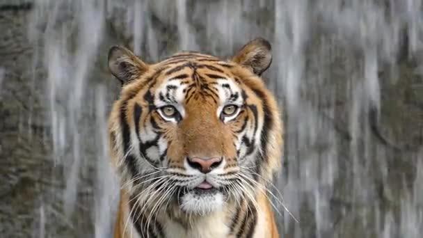 Bengálských tygrů na pozadí vodopád.