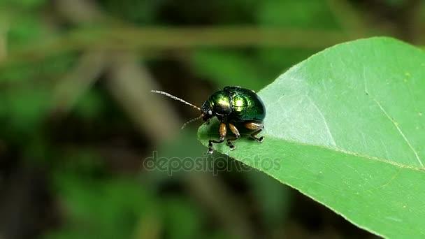 Zelený brouk na zelený list