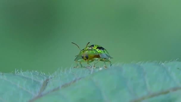 Verde Coccinella sui fogli.