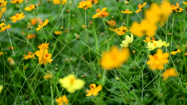 Orange cosmos flower in the wind at cosmos field. concept defocus.