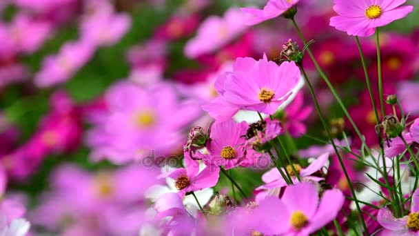 Pink cosmos flower in the wind at cosmos field. concept defocus.