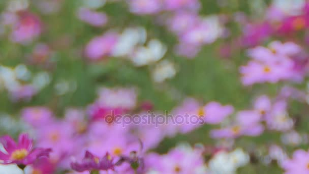 Pink cosmos flower in the wind at cosmos field. concept panning.