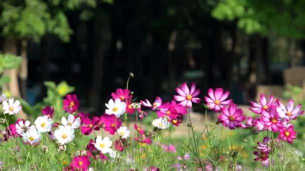 Beautiful pink cosmos flower blooming in garden.