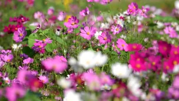 Gyönyörű a cosmos fehér virág virágzó kert jellege. természet háttér. koncepció defocus.
