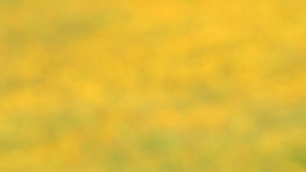 Krásné žluté cosmos květina kvetoucí zahradě. koncept rozostření. přírodní pozadí