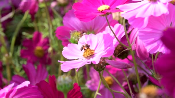Bee keep pollen of pink cosmos flower in cosmos field. Nature backgrounds.