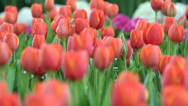Tahání středem květu tulipány v květu pole. Příroda backgrounds