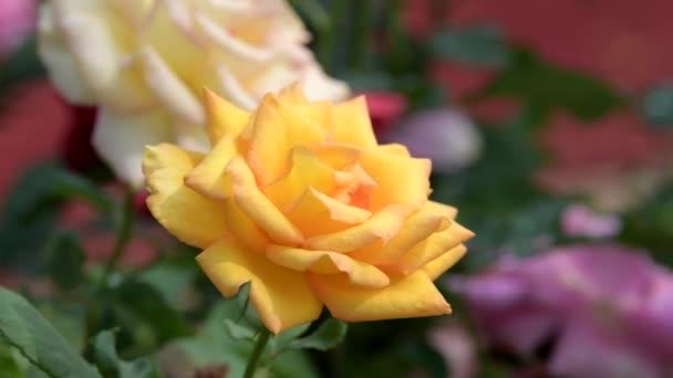 Sárga Rózsa virág virág mező. természet háttérképek.